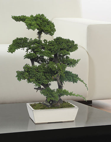 Bonsai Procumbens - Green