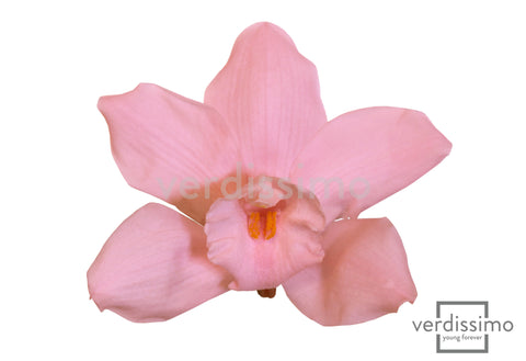Orchid Cymbidium - Light Pink