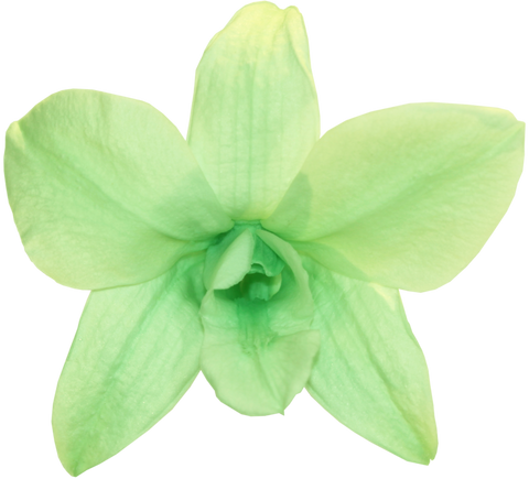 Orchid Dendrobium - Mint Green
