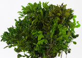 Pittosporum - Green