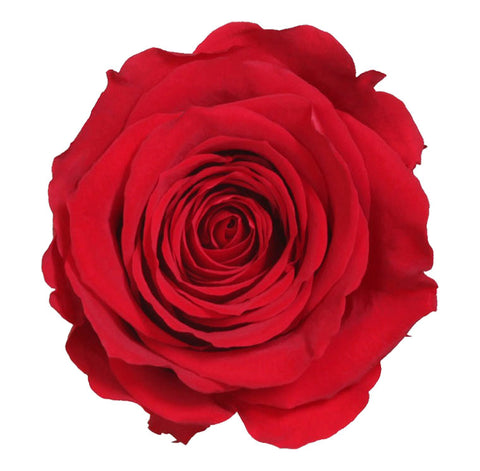 Standard Rose Heads - Red