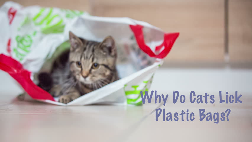 Why Do Cats Lick Plastic Bags?