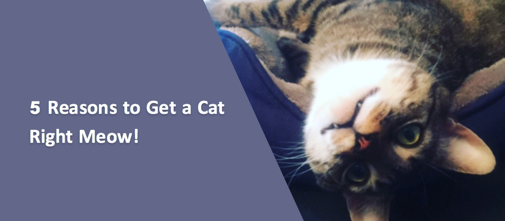 5 Reasons to Get a Cat Right Meow