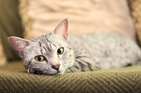 Egyptian-Mau-kitty