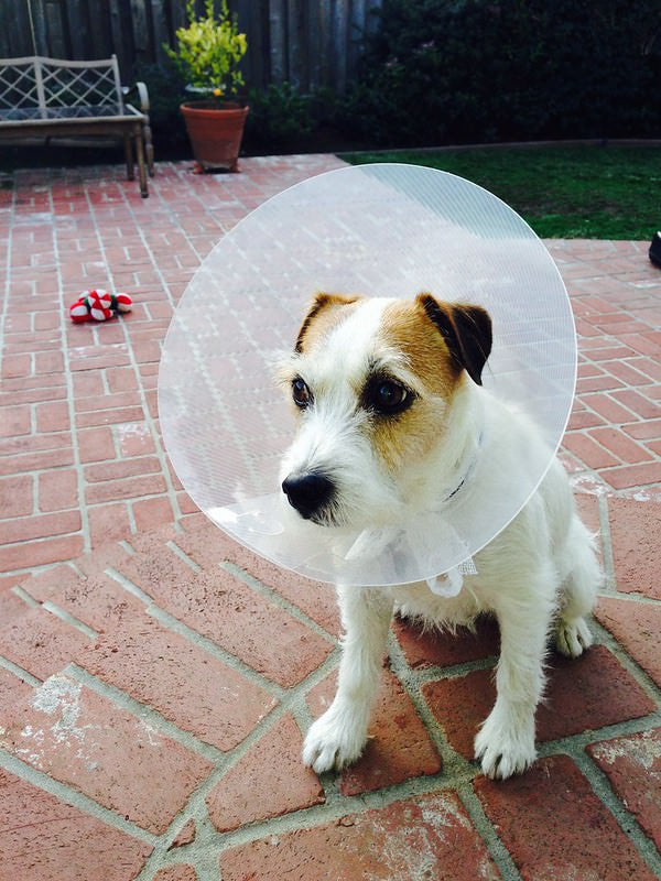 Small dog with cone