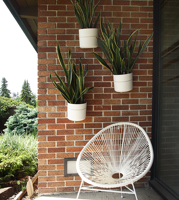 Snake plants with white pots hanging on brick