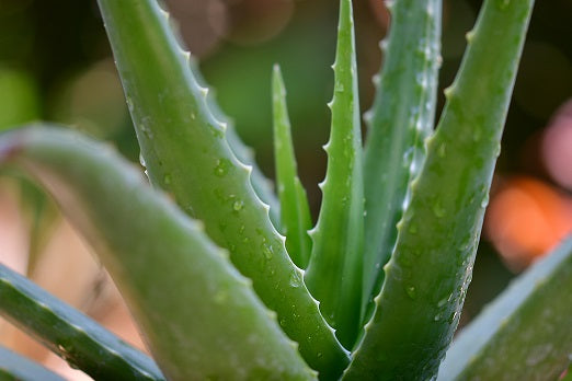 How might Aloe Vera benefit your skin?