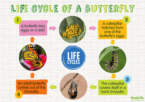 Free Life Cycle of a Butterfly Poster