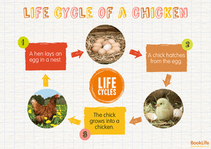 Life Cycle of a Chicken Poster by BookLife