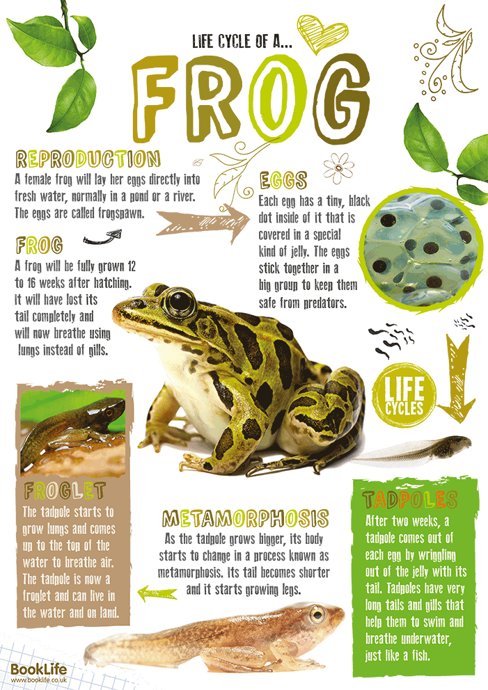Frogspawn to Frog Poster by BookLife