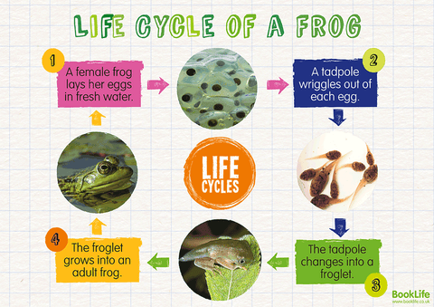 Free Life Cycle of a Frog Poster