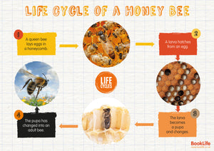 Life Cycle of a Honey Bee Poster