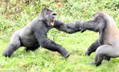 Gorillas fighting over a tomato