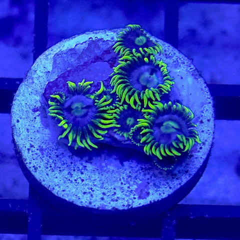 Blueberry Pie Zoanthids