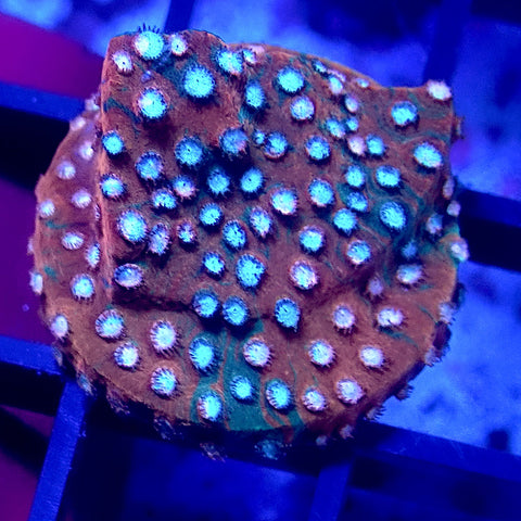 JF Fender Bender Cyphastrea