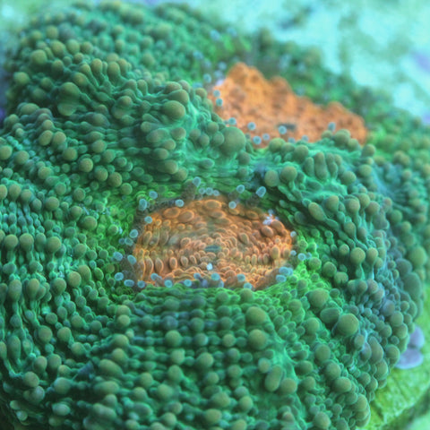 Orange Eye Acan Echinata