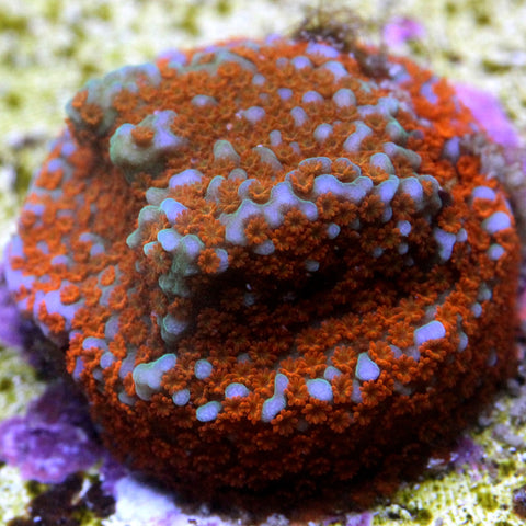 """Superman"" Montipora - COMING SOON - IN GROW OUT"