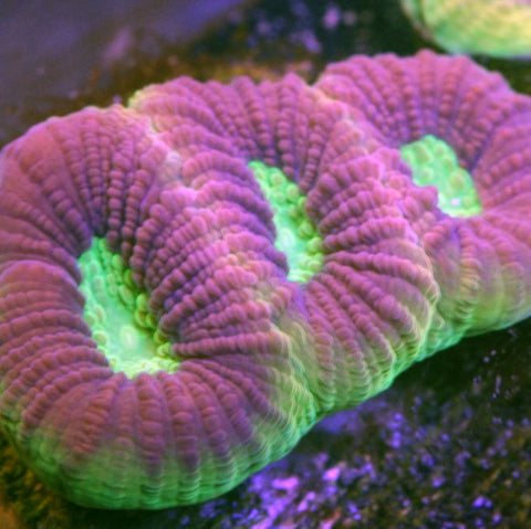 """Dragon Soul"" Favia Three Polyps"