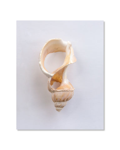 Buccin  // Waved Whelk - 8x10