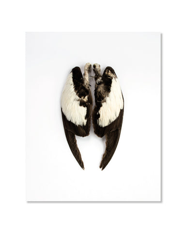 Guillemot à miroir, ailes // Black Guillemot, wings - 8x10