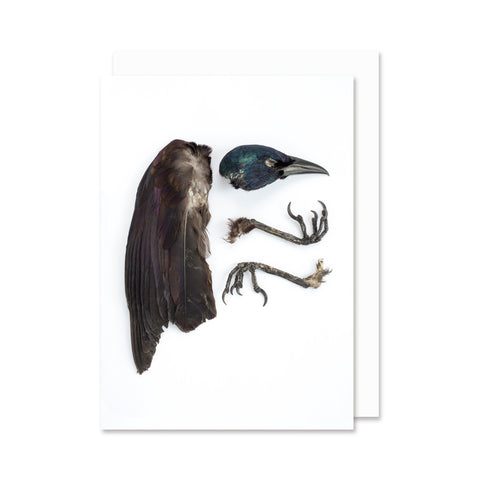 Quiscale bronzé // Common Grackle