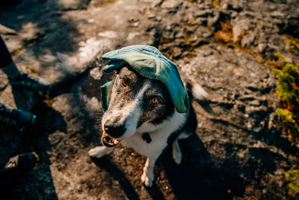 Dog looking up with a single sock on his head
