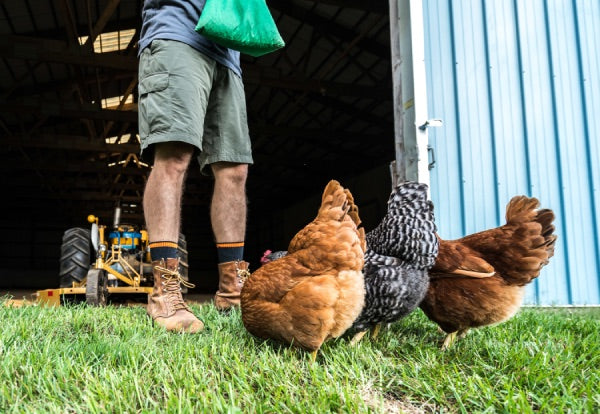 Man in work boots and work socks feeding chickens on farm