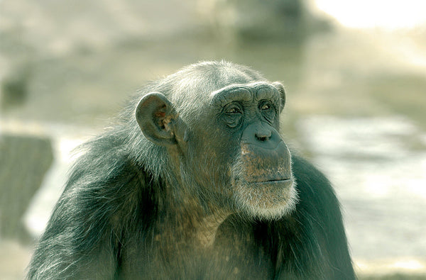 The Chimpanzee Genome & the Christian View of Humanity