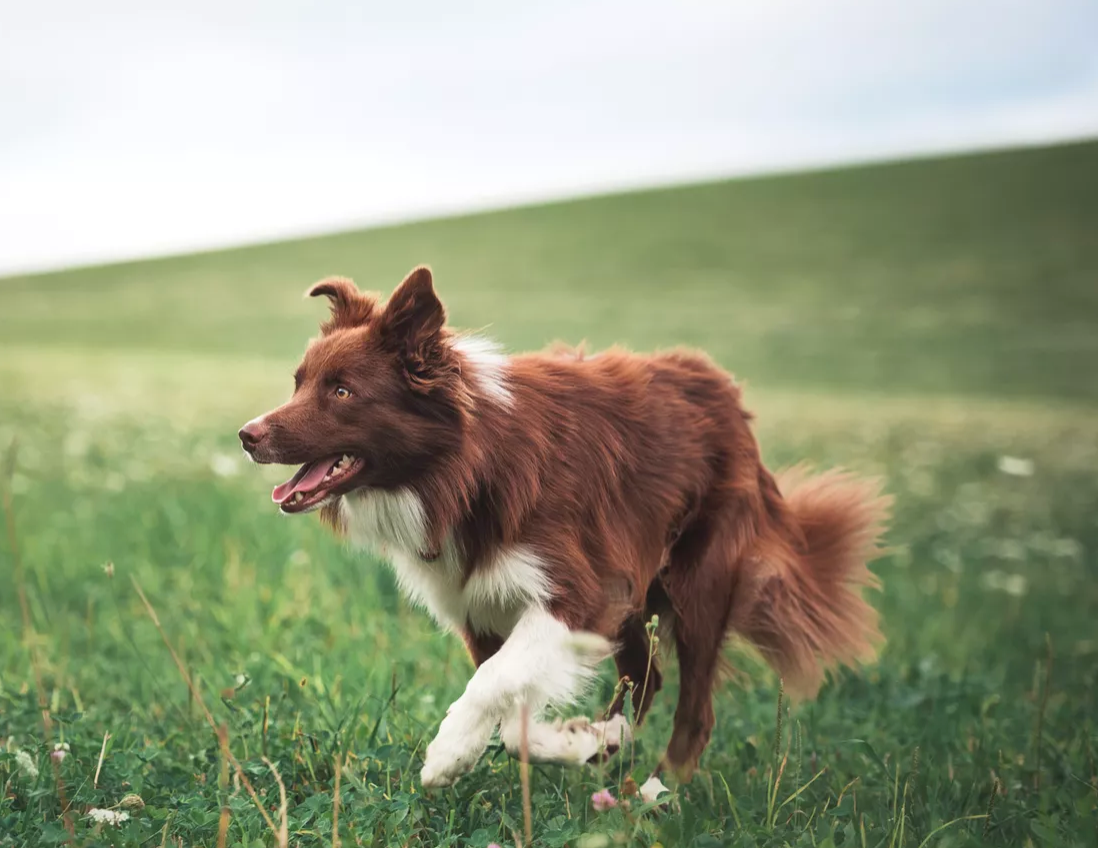 Hip Dysplasia in Dogs: Prevention and Understanding