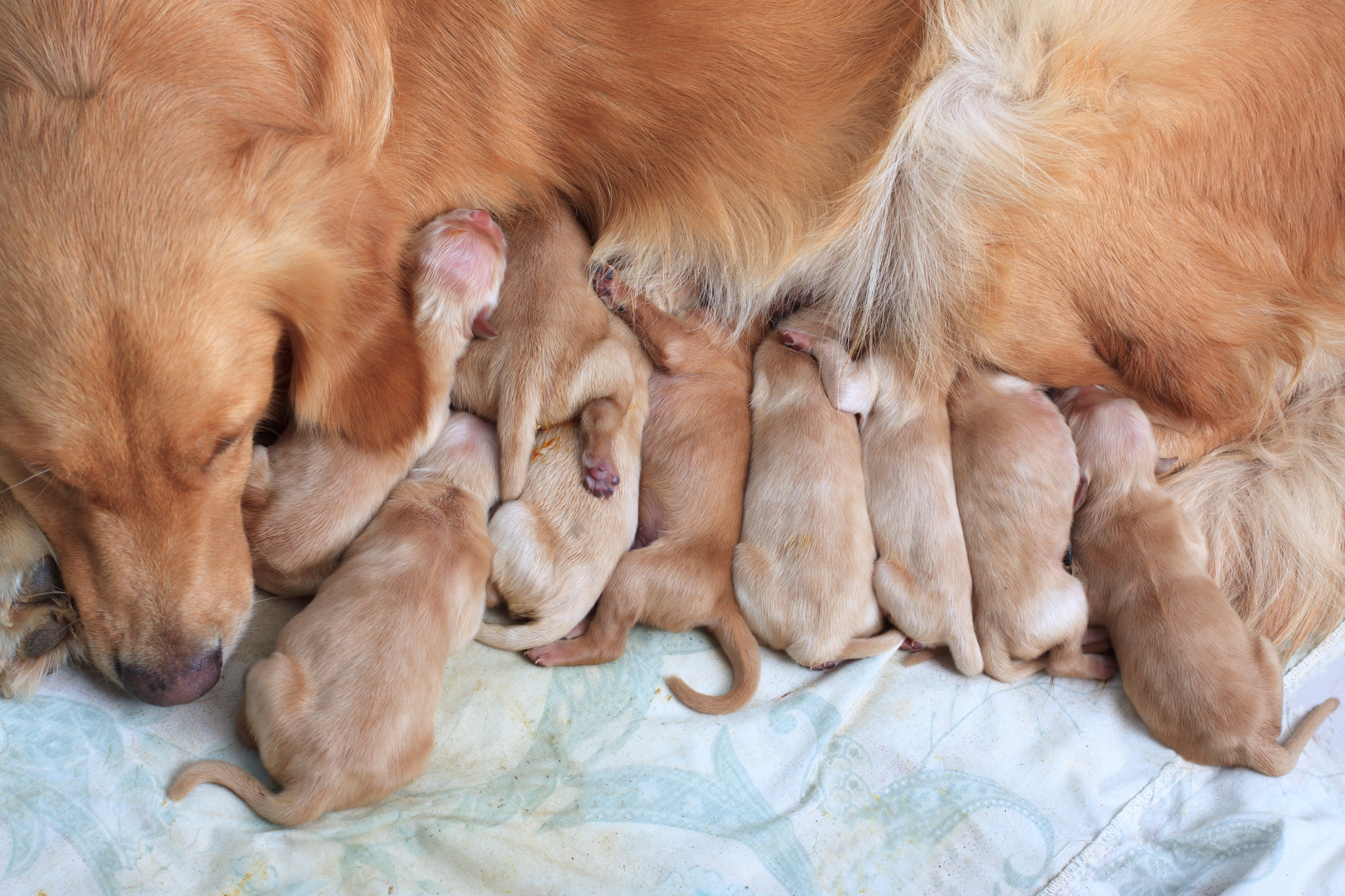 What Happens to a Mama Dog's Body After Birth?