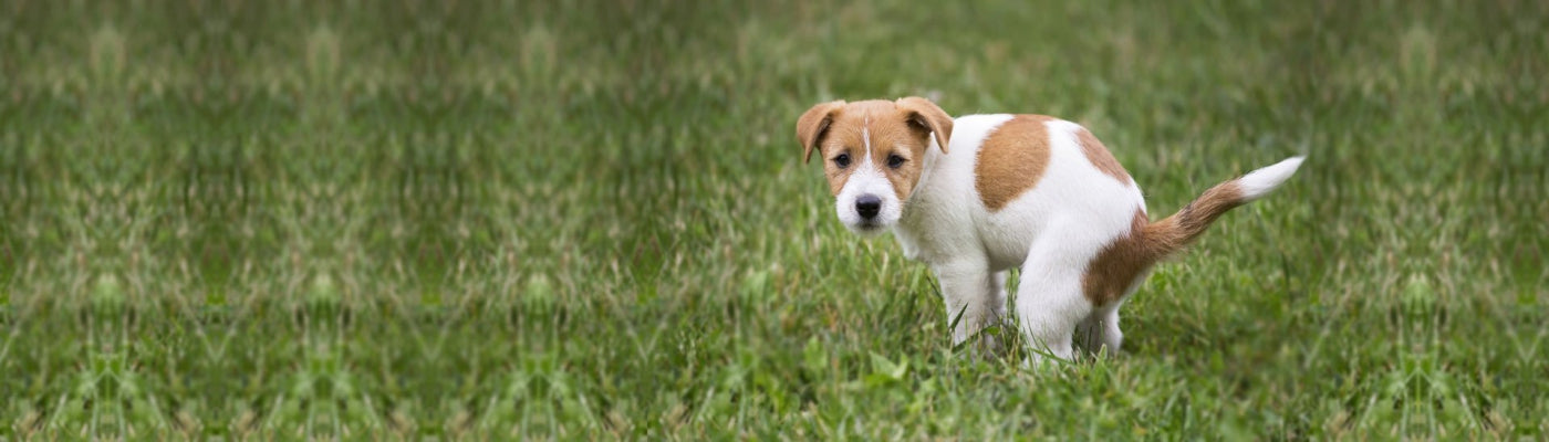 Is your dog peeing a lot? Should you worry?