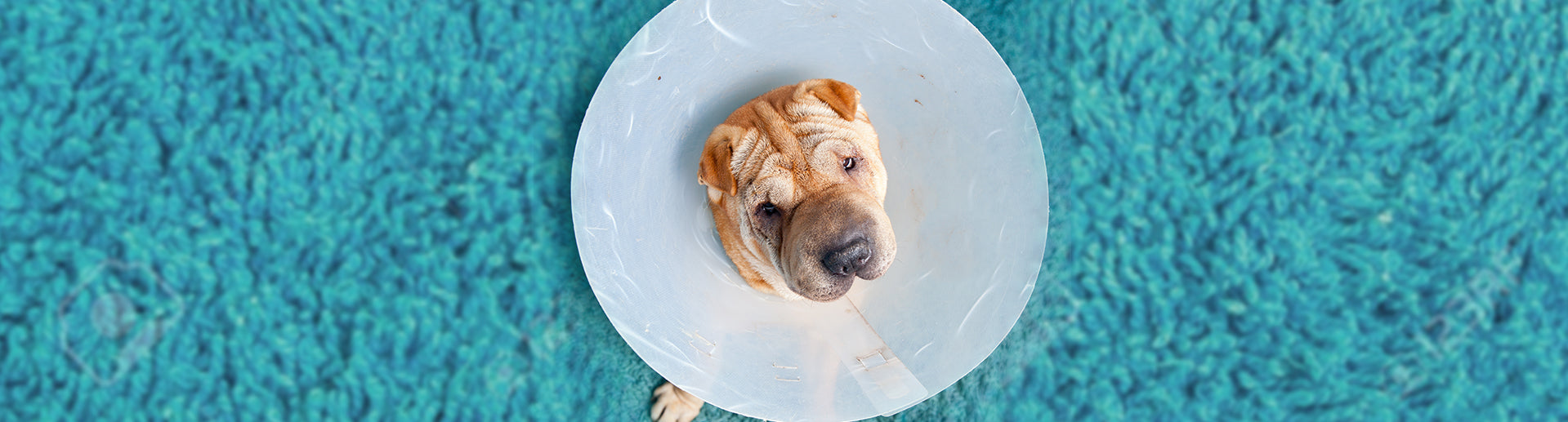 The Great Debate after a Neuter/Spay: E-collar or Dog Diapers?