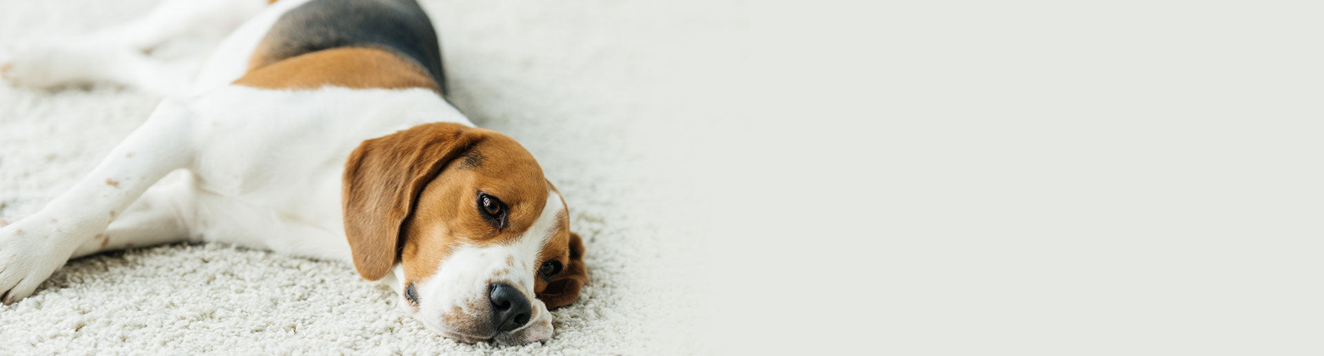 Signs to look for in dog seizures and safety precautions to take