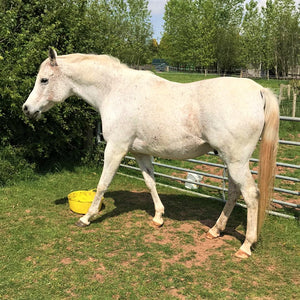 Peter's Laminitis Journey - A Guest Blog by Judith Evans