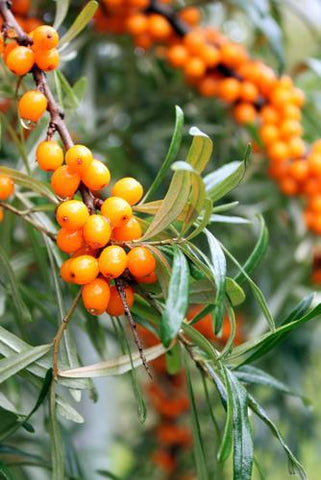 Seabuckthorn Berry