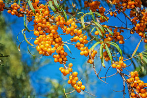 ORGANIC SEABUCKTHORN BERRY POWDER
