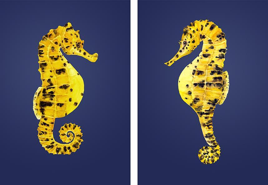 Pair of potbellied Seahorses prints-Lucy Coggle