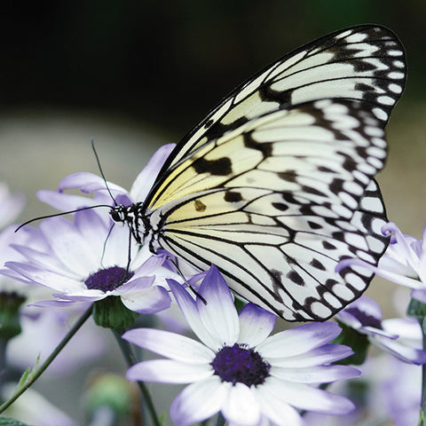 Floreo Card - Butterfly on Cineraria