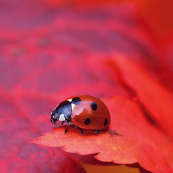 Floreo Card - Ladybird on Red Acer Leaf