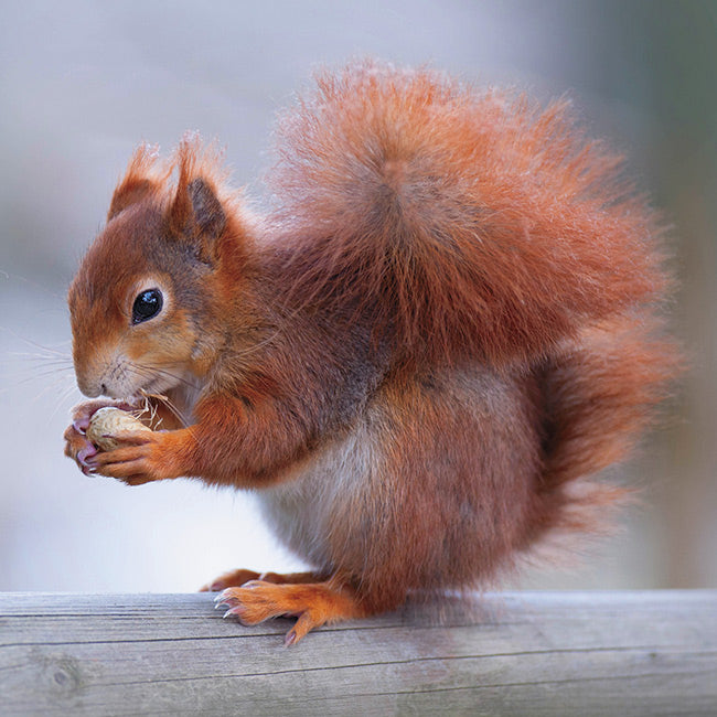 Floreo Card - Red Squirrel