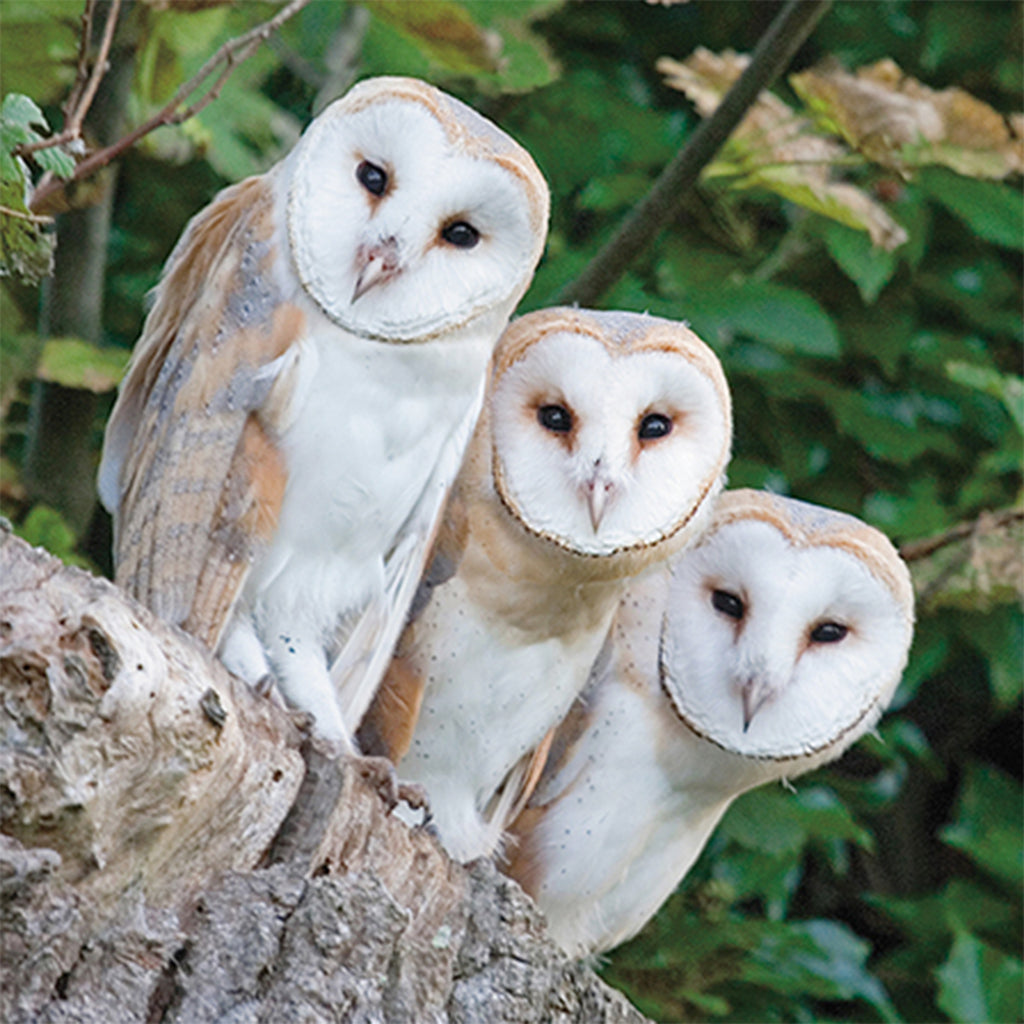 Floreo Card - Three Barn Owls