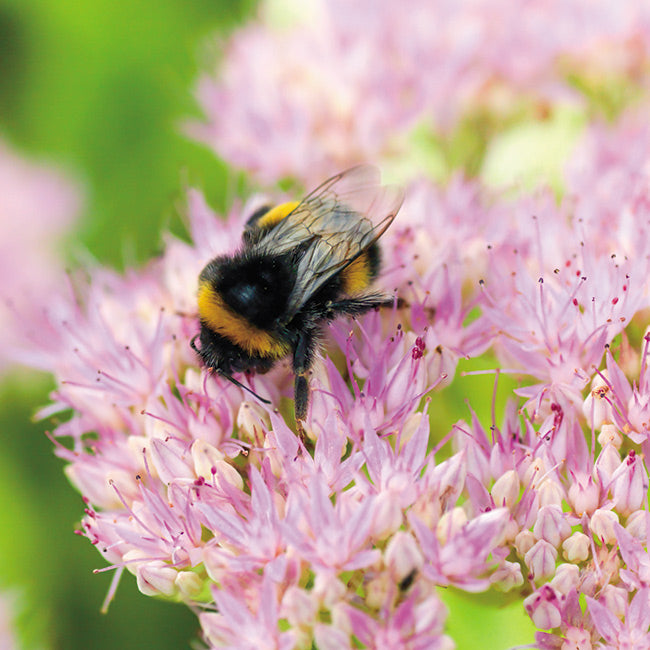 Floreo Card - Bumble Bee on Sedum