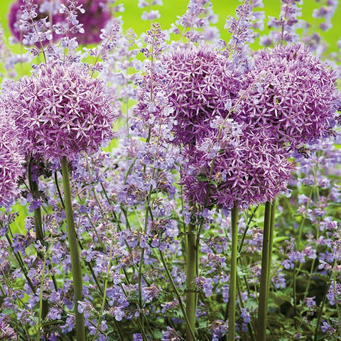 Floreo Card - Alliums