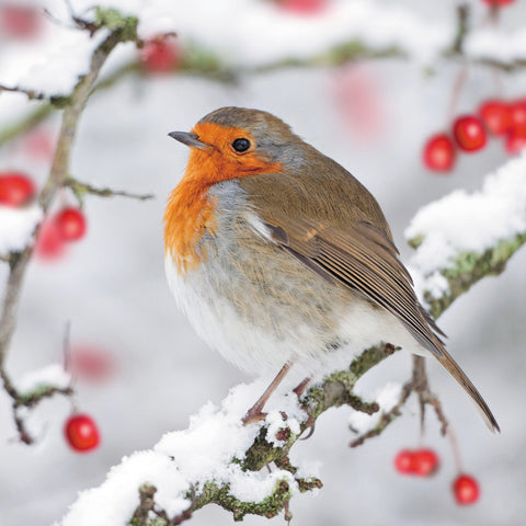 Robin Red Breast Christmas Card