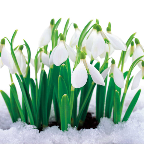 Snowdrops Cards x 10