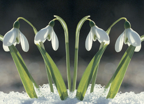 'Winter Snowdrops' Christmas Card