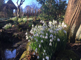 Make more of your snowdrops - by Anne Wright