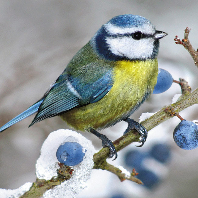 'Blue Tit and Berries' Christmas Cards