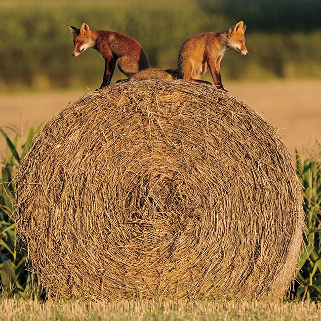 Floreo Card - Fox Cubs on Hay Bale