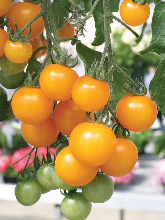 TOMATO TUMBLING TOM YELLOW